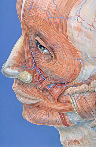 314px-facial_muscles